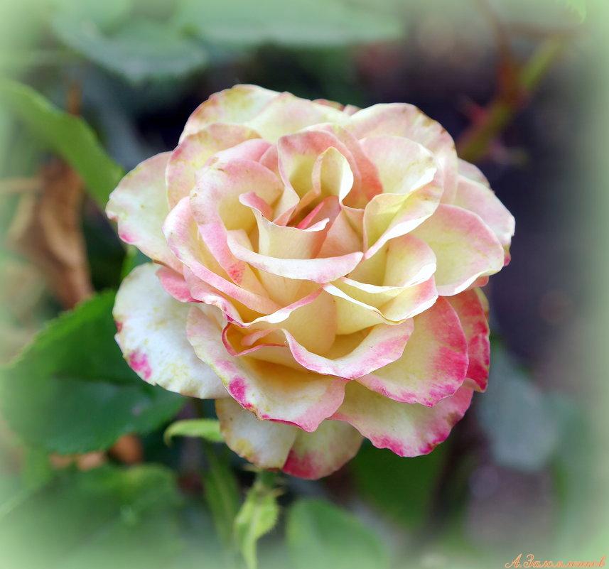 Августовские розы - Андрей Заломленков