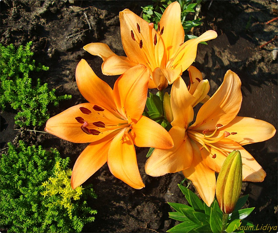 Яркие красотки - Лидия (naum.lidiya)