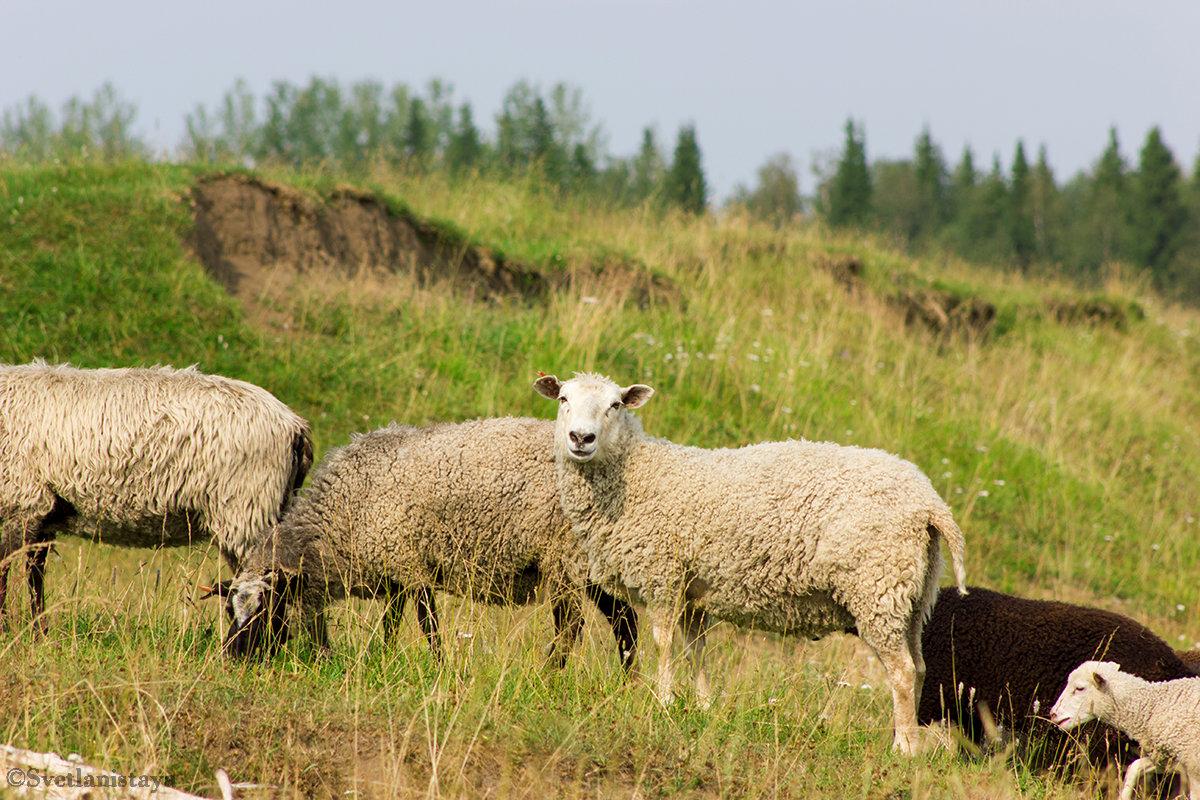 Овцы на лугу - Светлана Чуркина