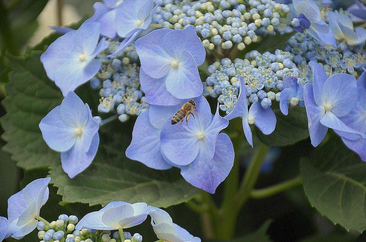 Голубые цветы гортензии, и пчелка на подлете. - Оля Богданович