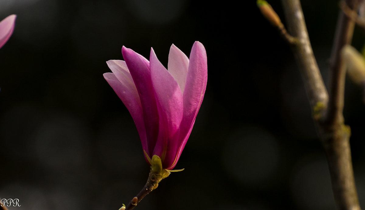 Раннецветущая красота - Павел Руденко