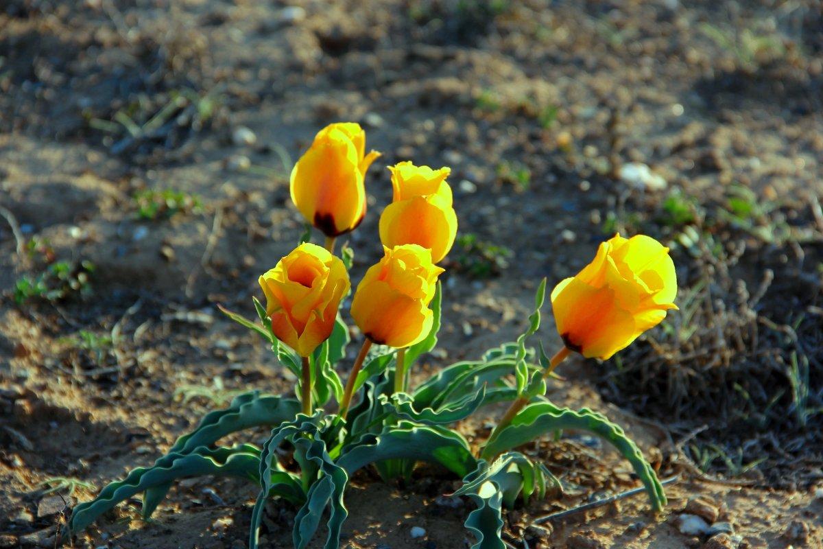 Степные тюльпаны, закат солнышка. - Алла