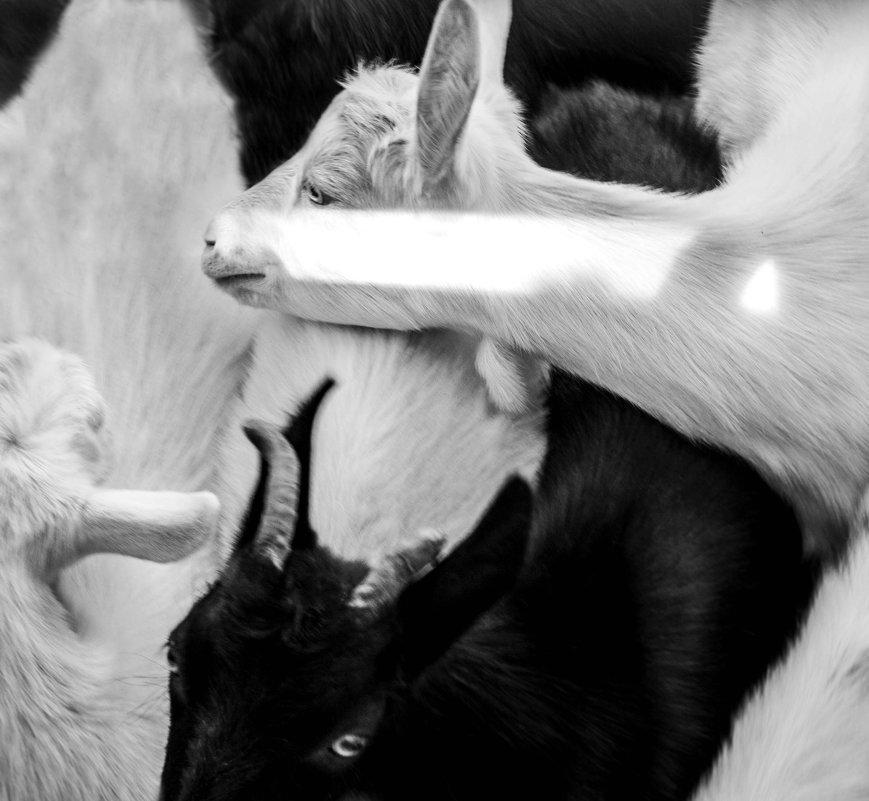 Goat farm - Света Гончарова