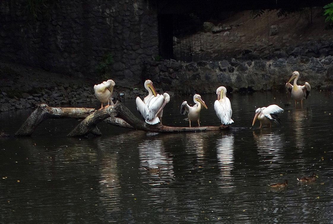 Стая пеликанов - Владимир Бровко
