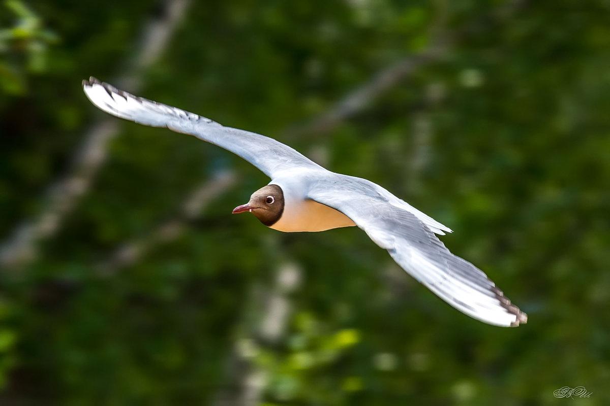 Волжская чайка - Владимир Шамота