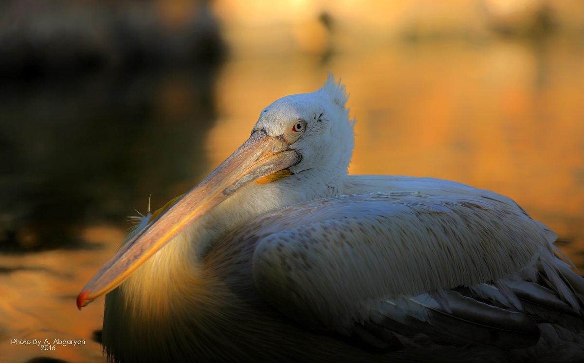 Great White Pelican - Армен Абгарян