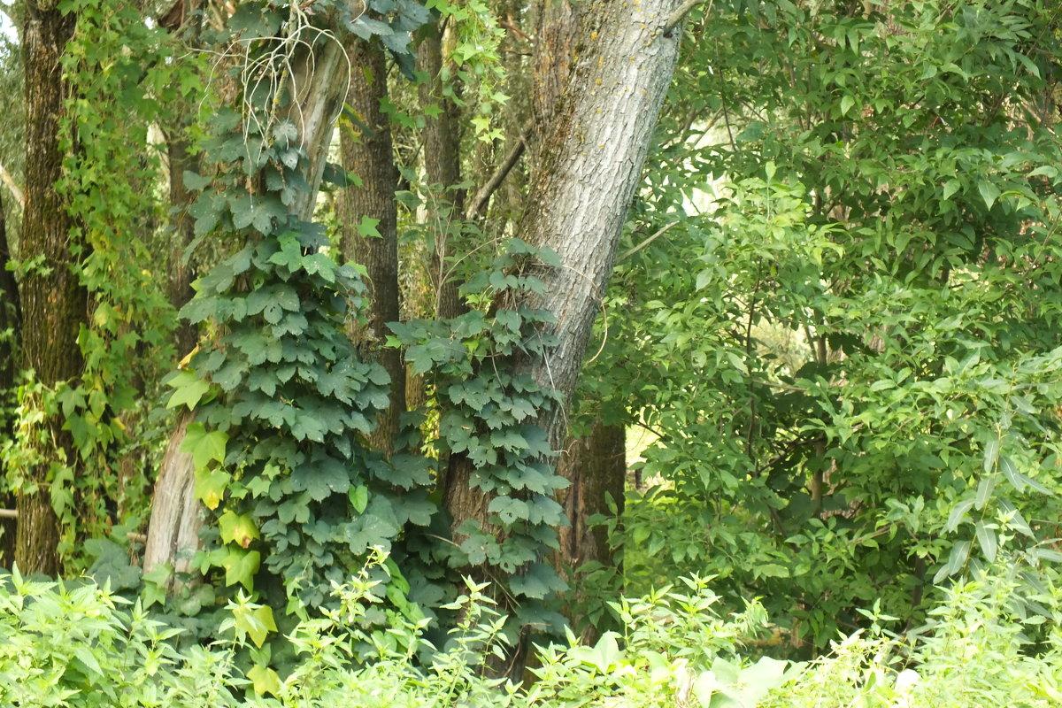 Лес труднопроходимый - prokyl