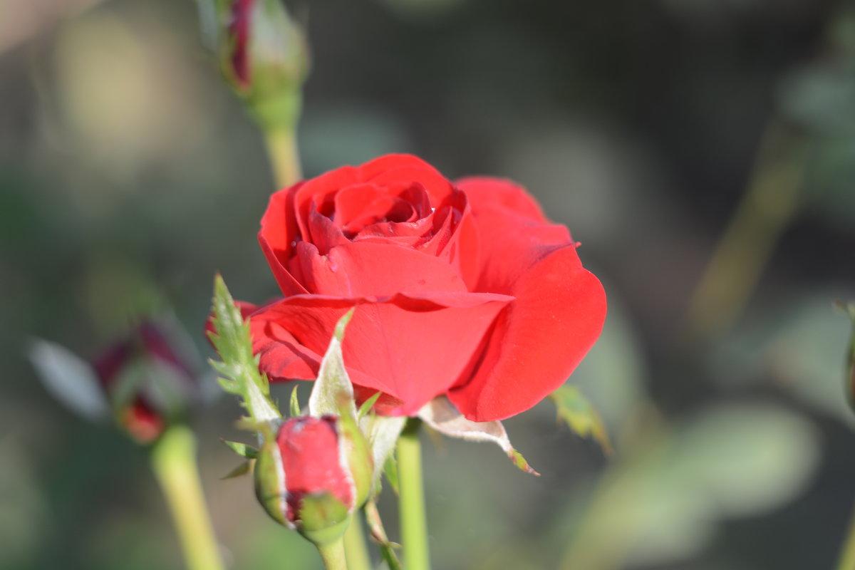 роза - Руслан