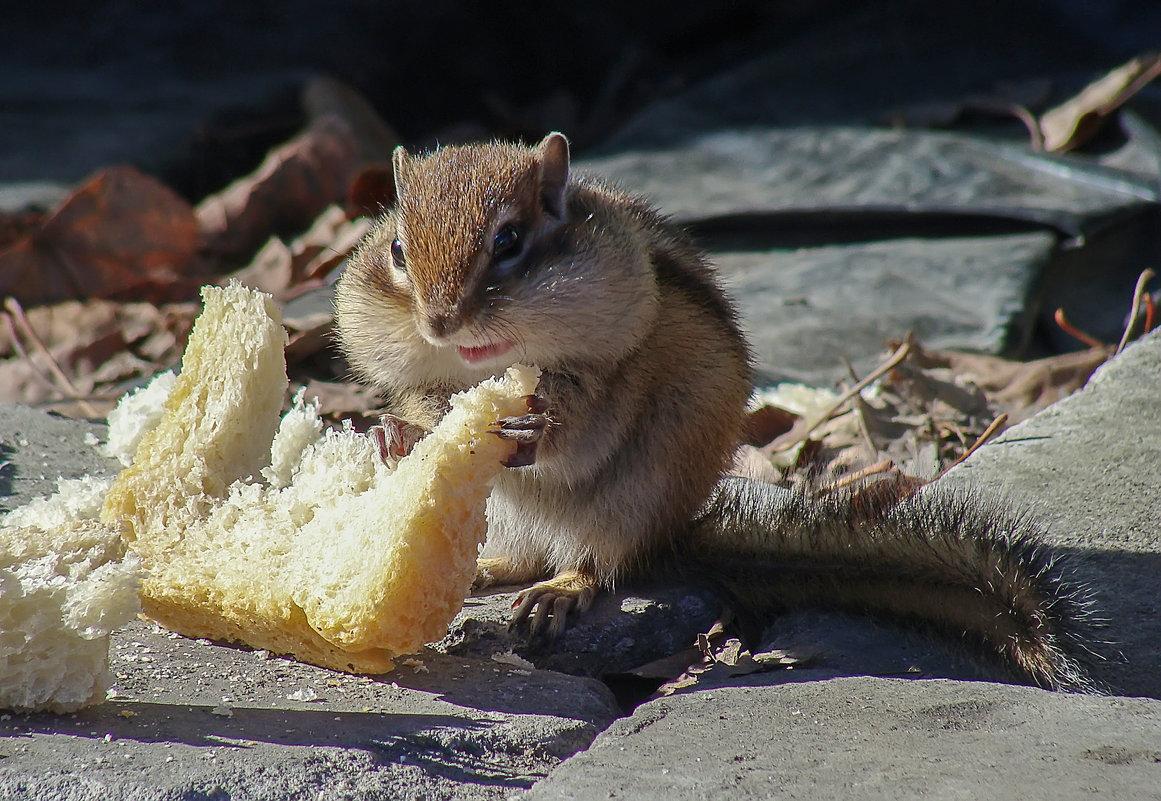 Бурундук с кусочком хлеба. - Виктор Иванович