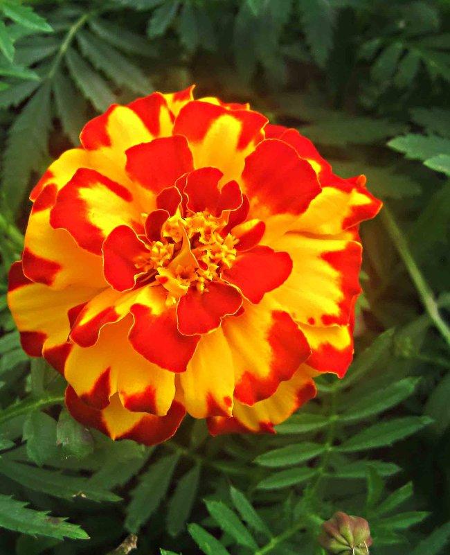 Яркий цветок сентября - Елена Семигина