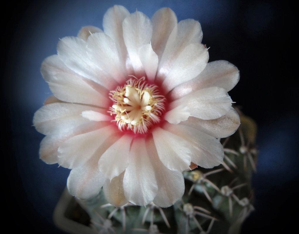 Цветущий кактус - Валерий Талашов