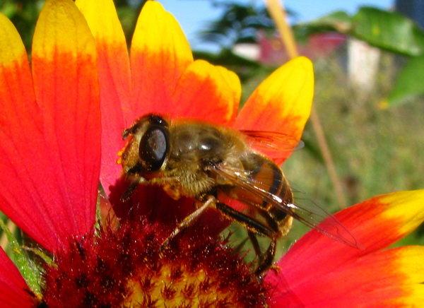 Пчеломагия. Никуда от пчел... (проба фотографировать  с фиксацией фотика) Пока без нового фотоаппа - Yulia Deimos