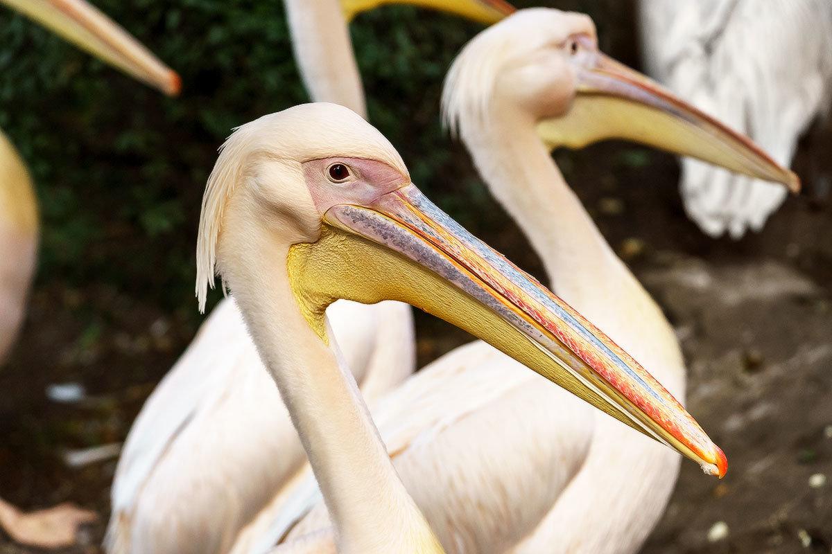 Пеликаны - Оксана Лада