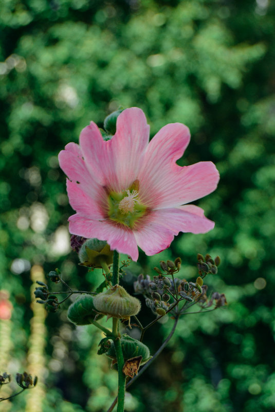 розовый гигант - Света Кондрашова