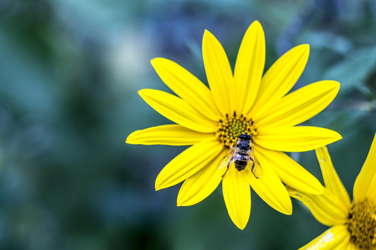 Красивый цветок топинамбура - Семен Кактус