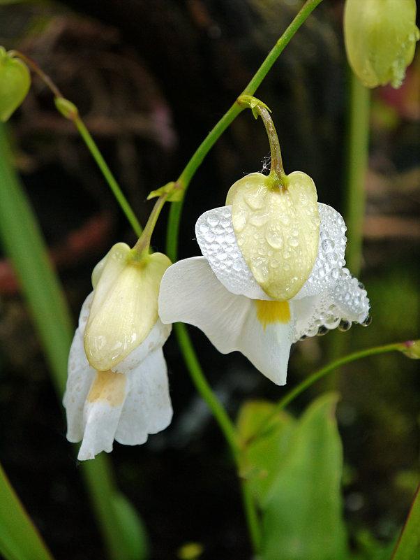 Капли на цветке - татьяна петракова