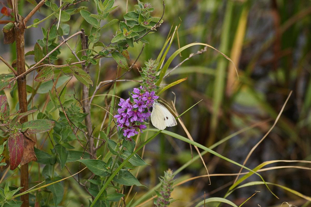 Осенняя бабочка - MPS