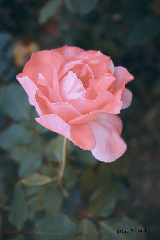 троянда - Ольга Ткач