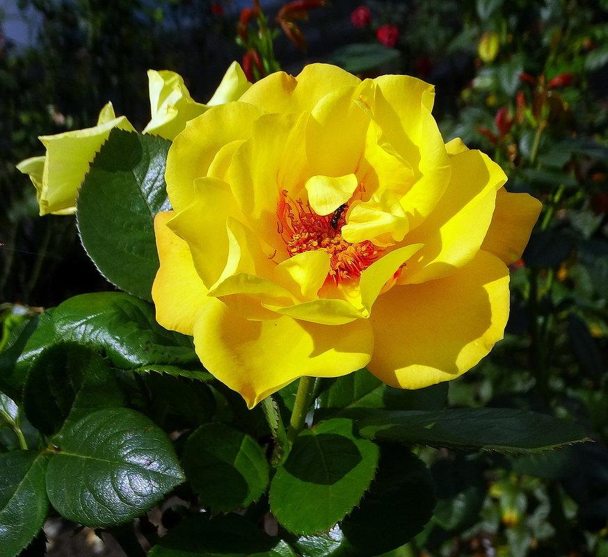 Осеняя роза Фото №1 - Владимир Бровко