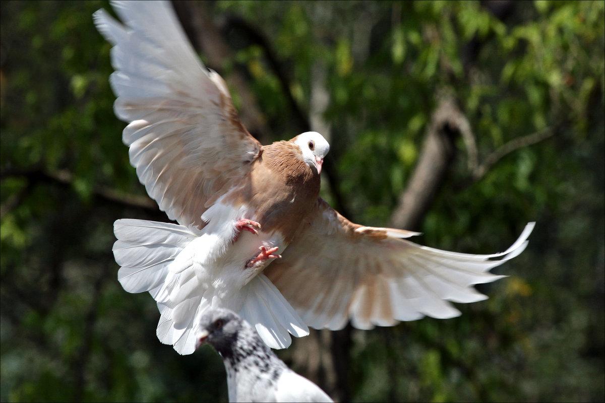 """""""Иду на посадку!""""  (соседняя голубятня-в породах, увы, профан) - Gavrila68 -Женя"""