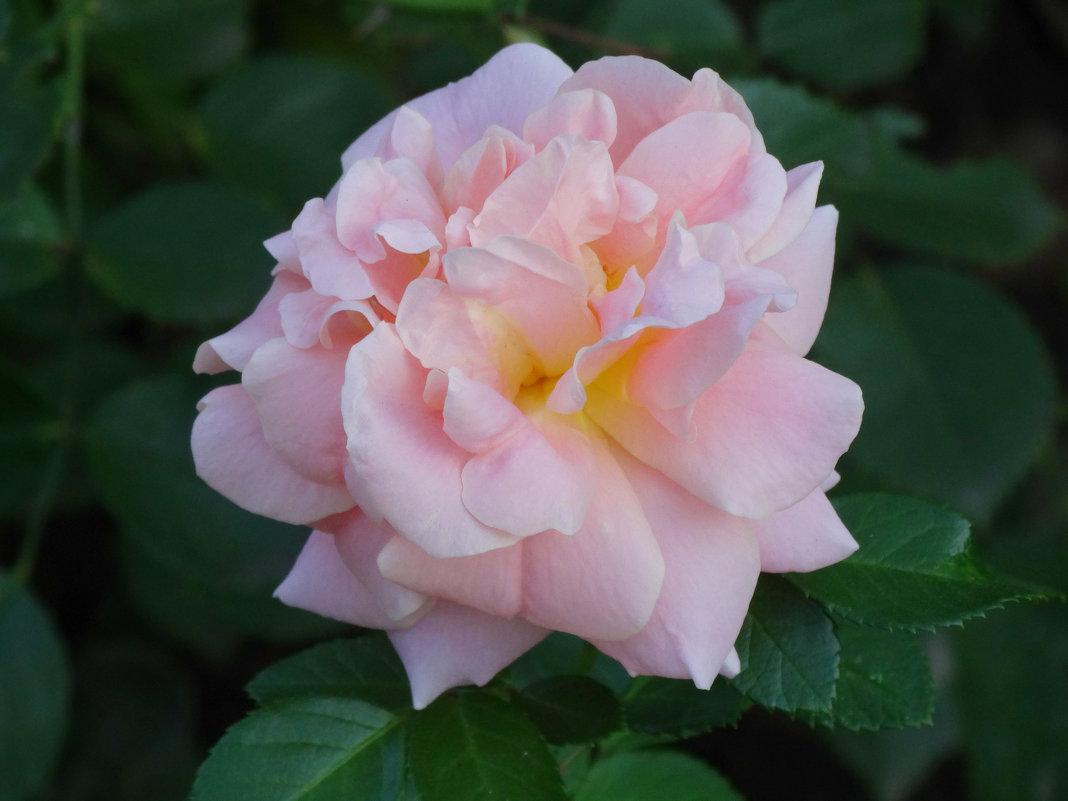 Парковые розы в сентябре... - Тамара (st.tamara)