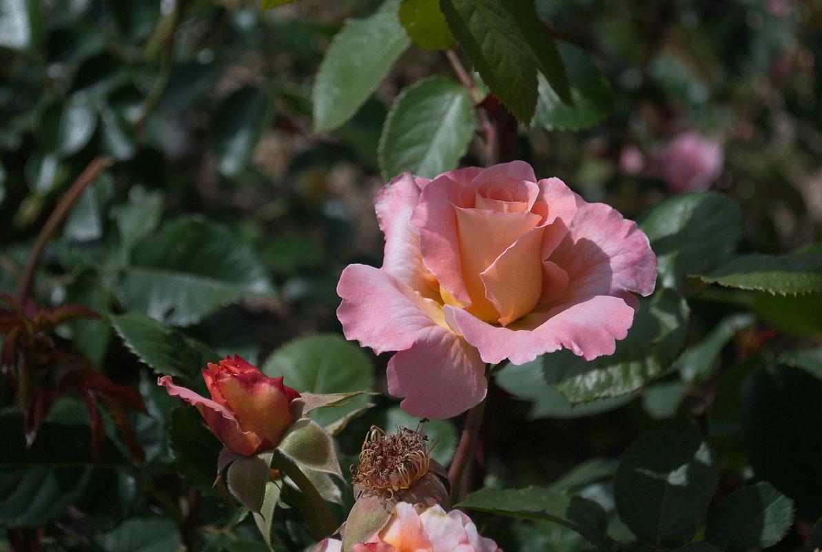 Просто роза. - Лилия Гудкова