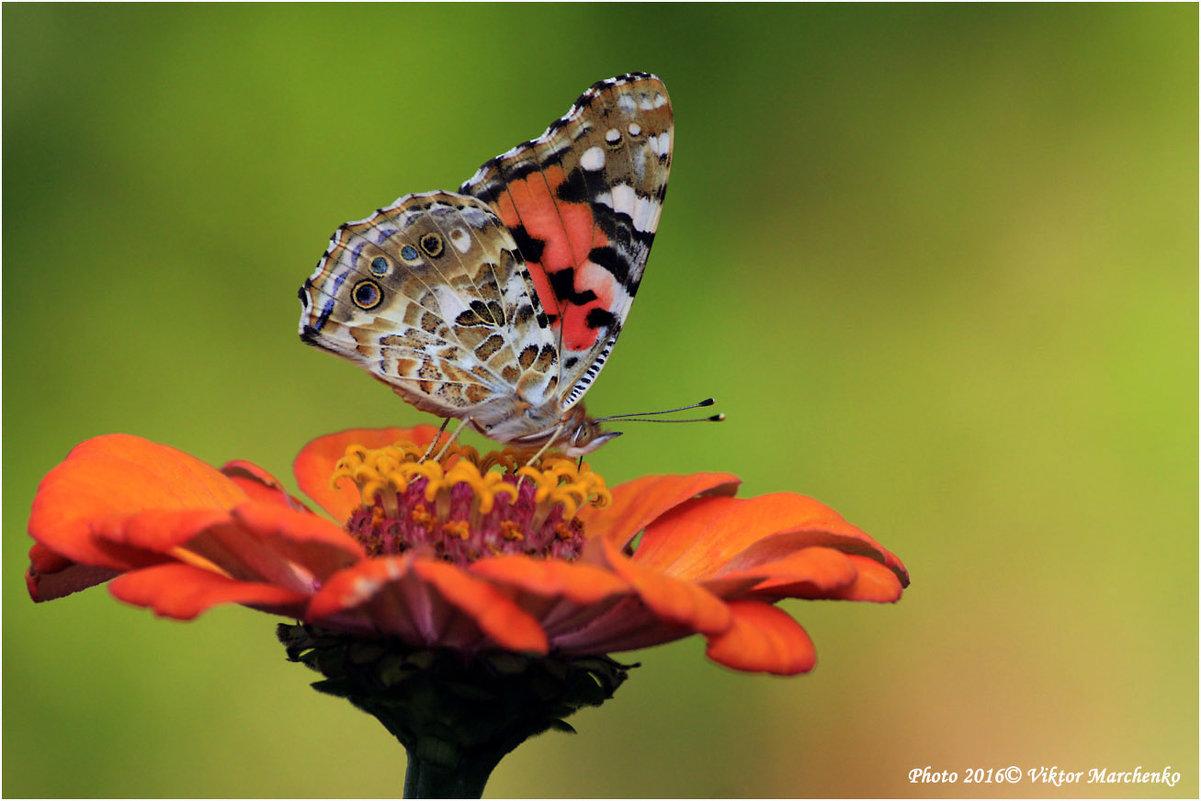 Бабочка - Виктор Марченко