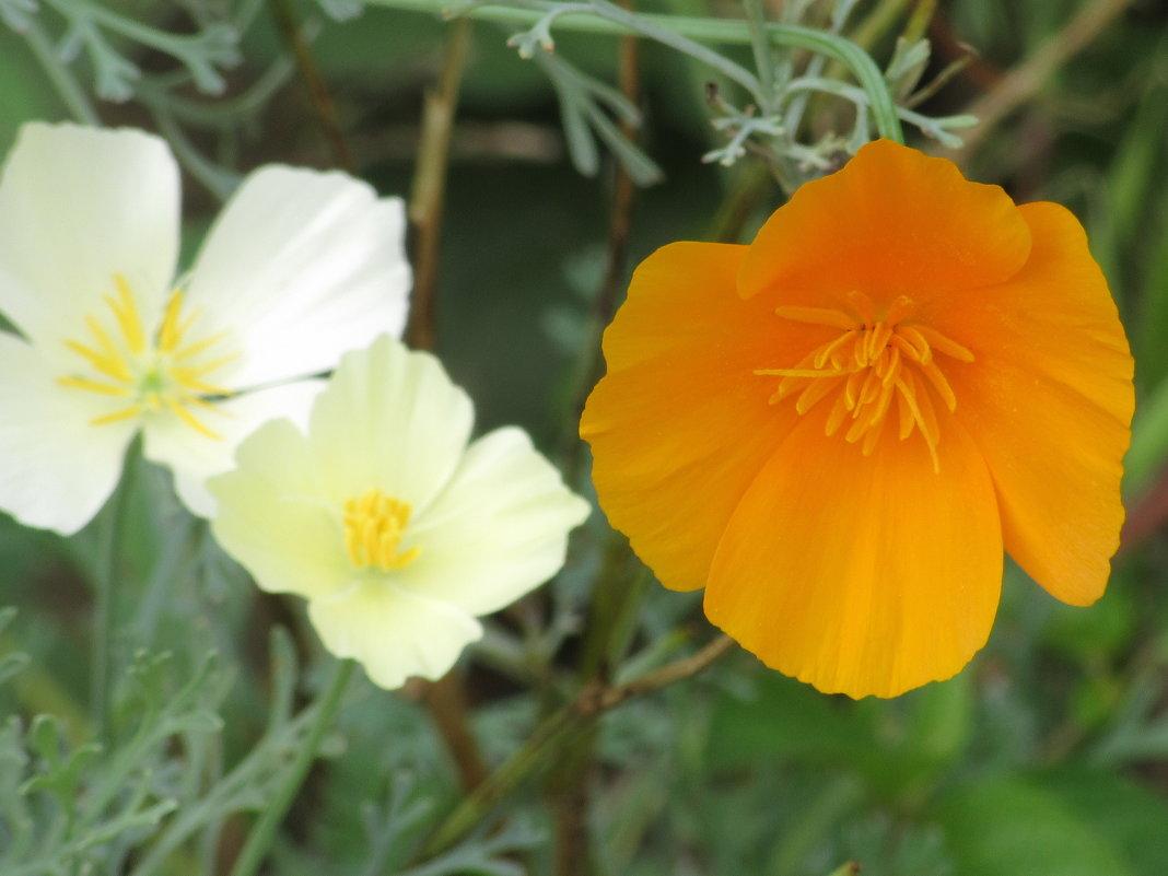 Цветы, цветы...(эшшольция) - Вячеслав Медведев