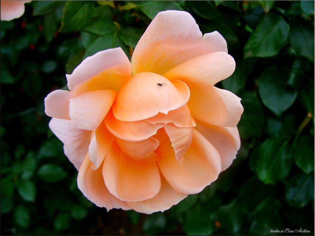 Чайная роза - °•●Елена●•° Аникина♀