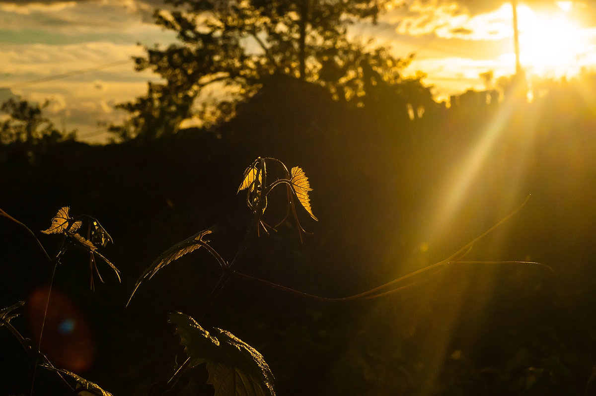Лоза в лучах заходящего солнца - Albina