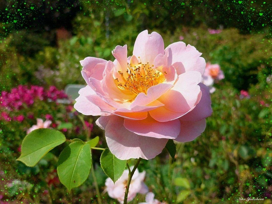 Розы нежность - Nina Yudicheva