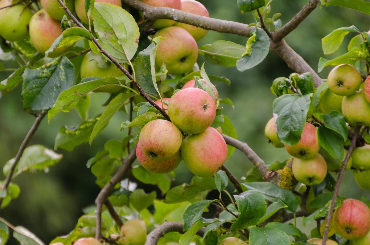 Яблочки в саду - Eugen Pracht