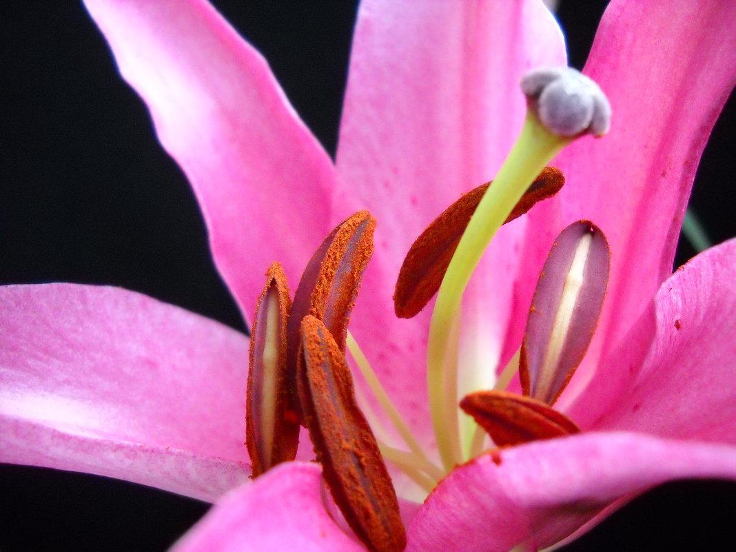 Розовая Лилия Макро - Victoria