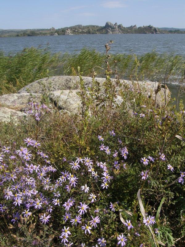 Цветущие сентябринки на берегу Колыванского озера - Андрей