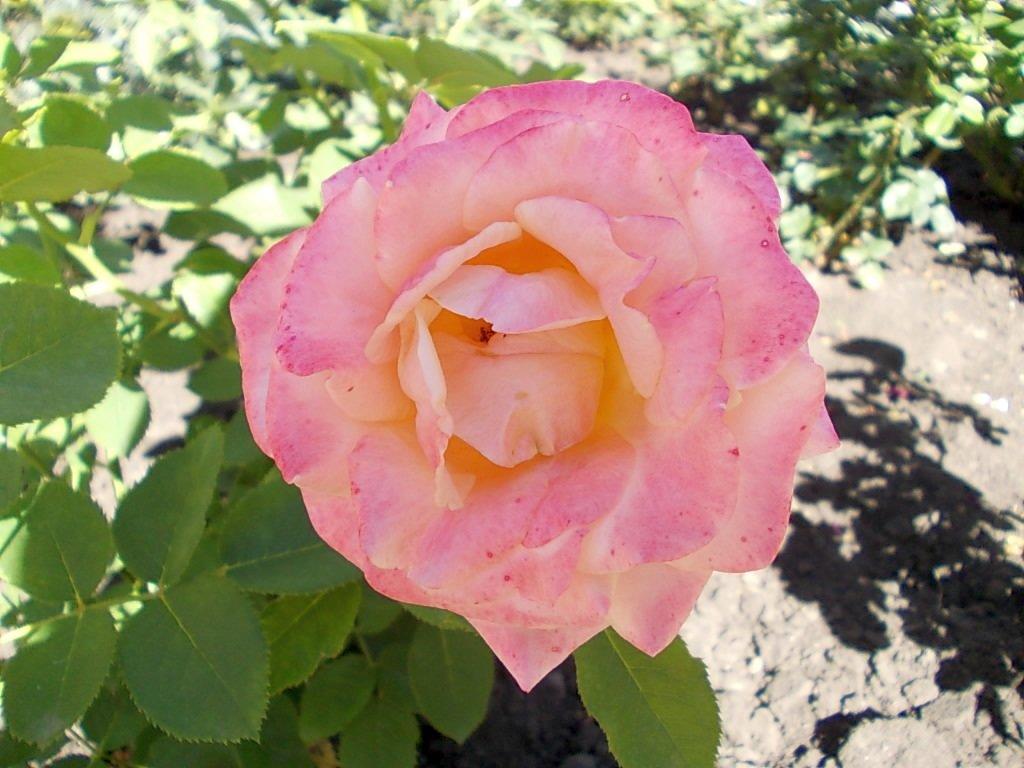 Роза Святогорья - Викторина Срыбна