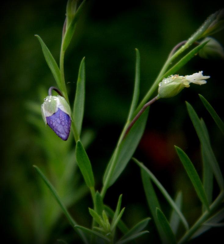 Цветочек льна осенним утром - Lilek Pogorelova