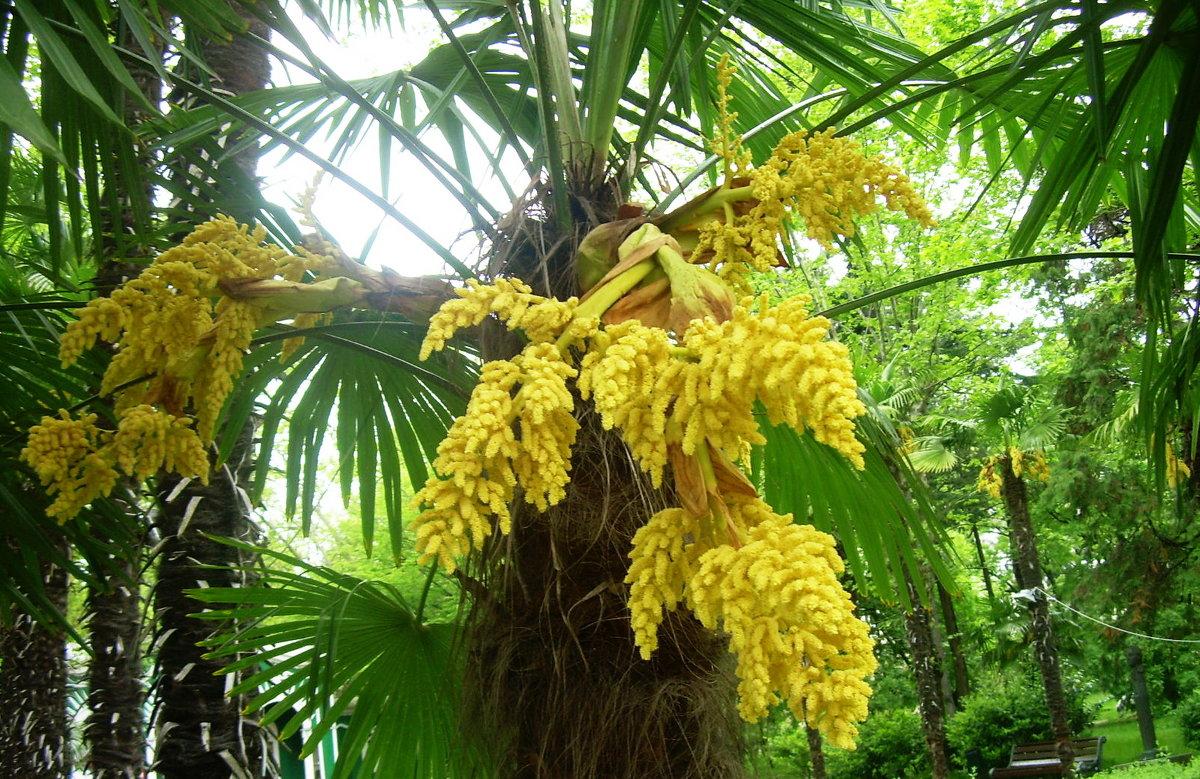 Сочи. Пальма в цвету - татьяна