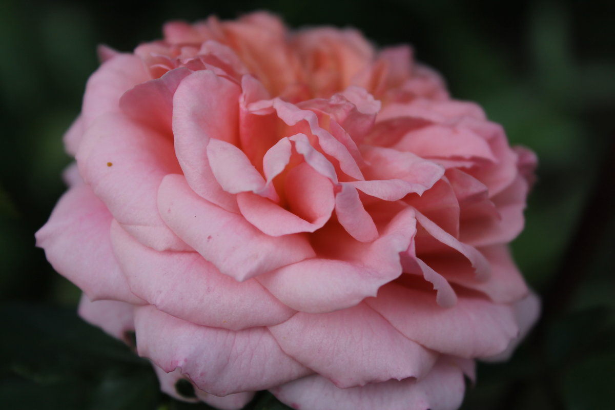 роза - анастасия артемьева