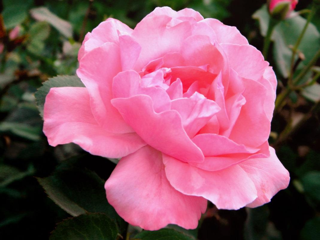 Розовая нежность - Вячеслав Платонов