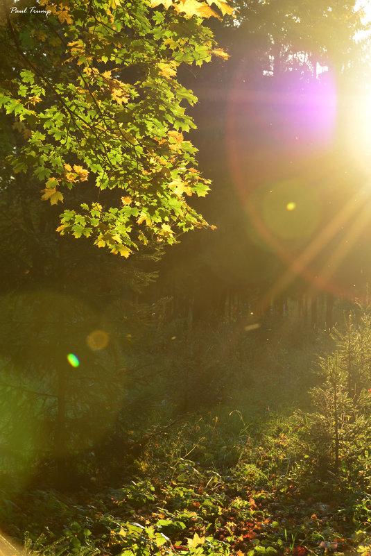 Солнце прорывается сквозь листья - Павел Trump