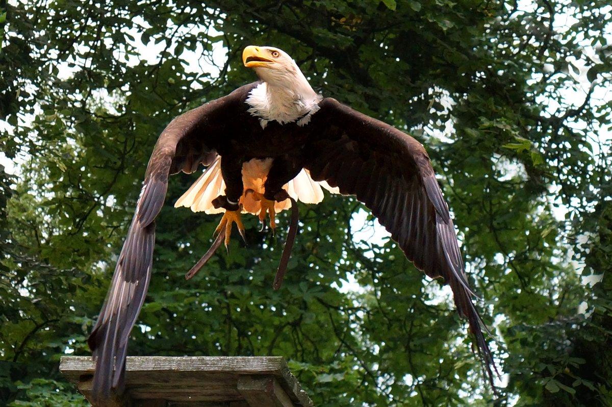 Американский белоголовый орлан - Татьяна Кадочникова
