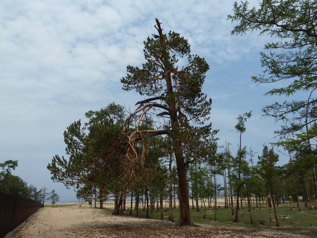 Деревья Ольхона - Галина