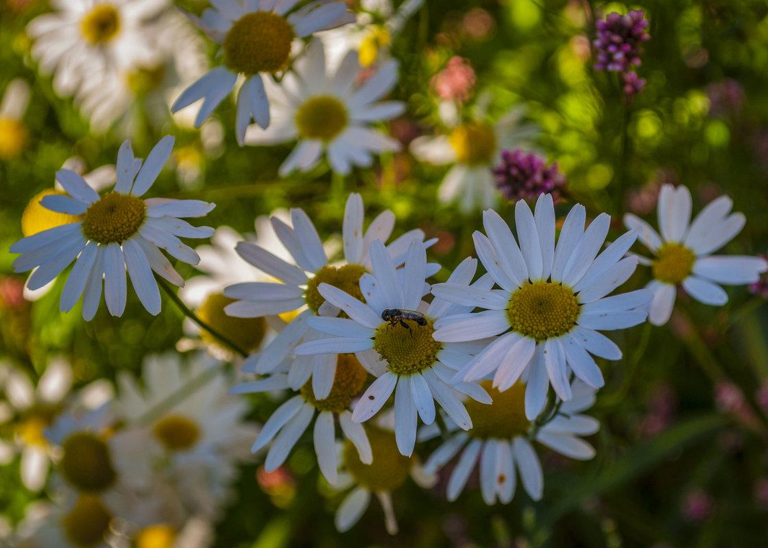 Полевые цветы подмосковья - Андрей