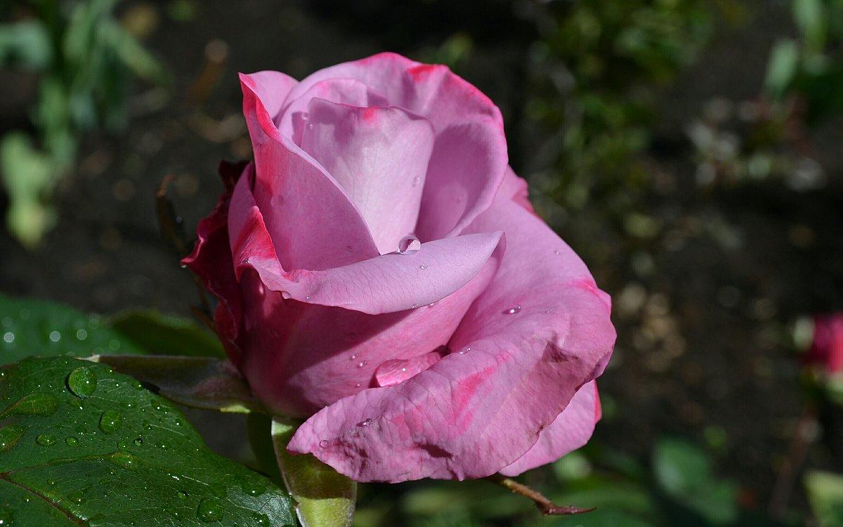 Про розы - Милешкин Владимир Алексеевич