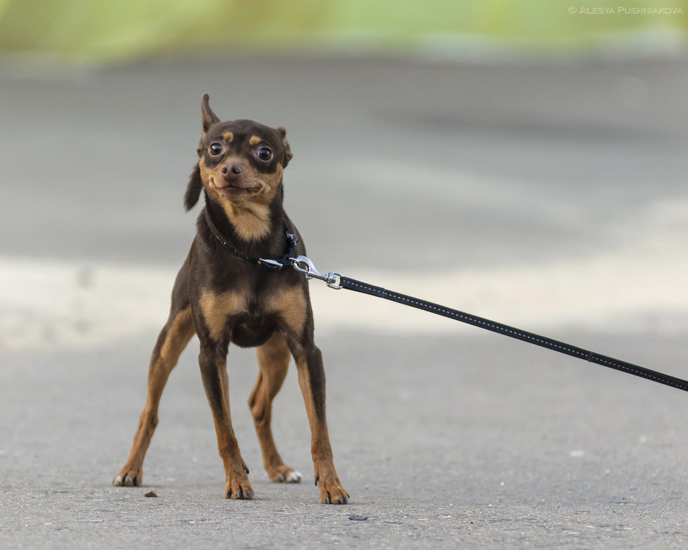 Собака-улыбака :) - Алеся Пушнякова