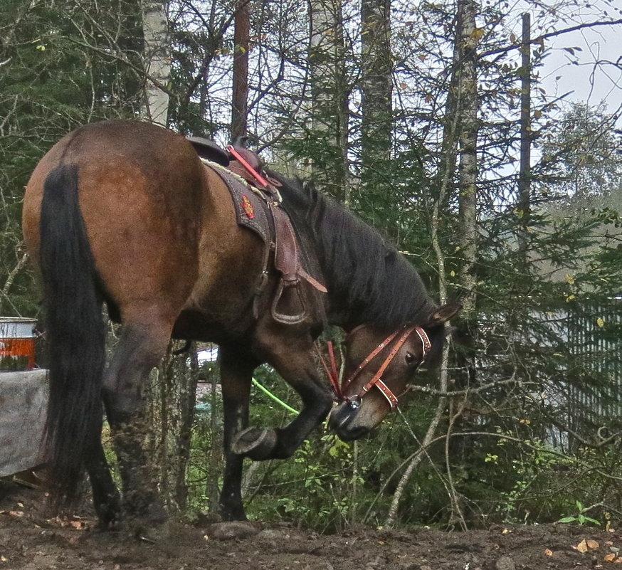 бьёт копытом конь - Елена