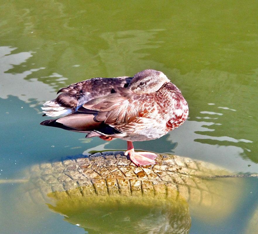 Почему спят утки(и не только утки) на одной ноге?! - Наталья