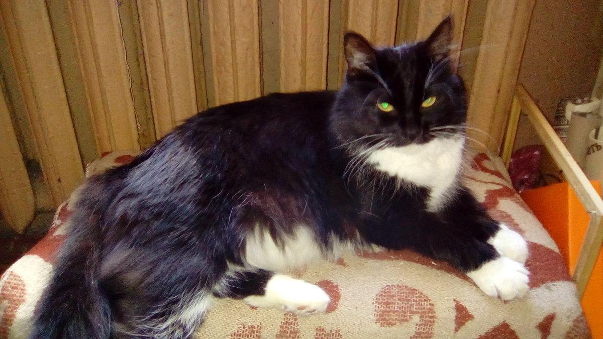Кошка Глафира - домашняя любимица. - Светлана Калмыкова