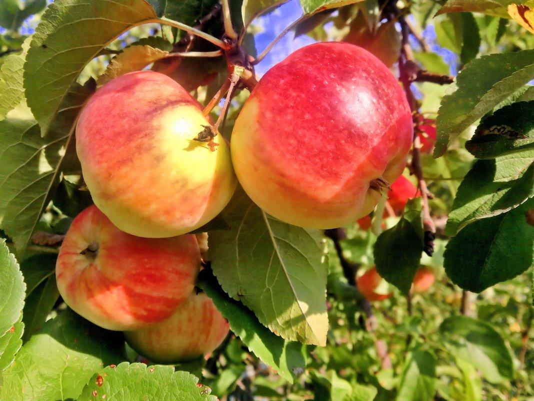 Тёплым светом яблочки налились. - Валентина ツ ღ✿ღ