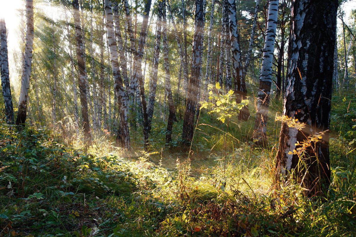 Берёзовый лес - Сергей Добрыднев